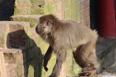 Japanse macaque in stad Royalty-vrije Stock Foto's