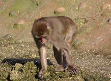 Japanse macaque in stad Royalty-vrije Stock Fotografie