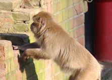 Japanse macaque in stad Stock Afbeelding