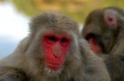 Japanse Macaques Royalty-vrije Stock Afbeeldingen