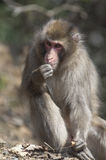 Japanse macaques bij Iwatayama-Aappark Royalty-vrije Stock Afbeelding