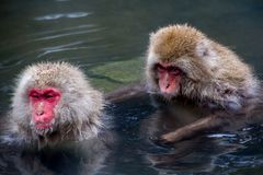Japanse Macaques in de hete lentes Royalty-vrije Stock Afbeelding