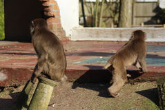 Japanse macaques in stad Royalty-vrije Stock Foto