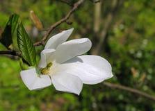 Japanse magnolia Royalty-vrije Stock Foto's