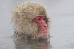 Japanse Makaak, Japanese Macaque, Macaca fuscata royalty free stock photo