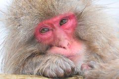 Japanse Makaak, Japanese Macaque, Macaca fuscata royalty free stock image