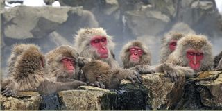 Japanse Makaak, japansk Macaque, Macacafuscata arkivfoton