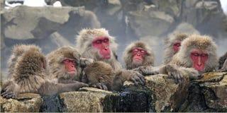 Japanse Makaak, Japanse Macaque, Macaca-fuscata stock foto's