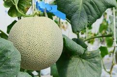 Japanse meloenen of groene meloen of kantaloepmeloenenaanplanting in serre royalty-vrije stock fotografie