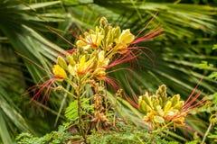 Japanse mimosa Stock Afbeeldingen