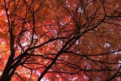 Japanse Mountainash (commixta Sorbus, rosaceae) Royalty-vrije Stock Foto's