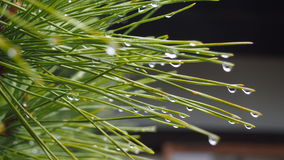 Japanse pijnboom Stock Afbeelding