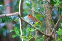 Japanse Robin in Japan Royalty-vrije Stock Foto's