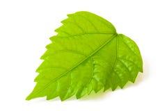 Japanse Rose Leaf royalty-vrije stock foto