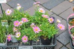 Japanse roze bloemen in pot bij de markt op 31 Maart, 2017 | kleurrijke decoratie voor huis en tuin Stock Foto
