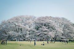 Japanse Sakura-kersenbloesems in volledige bloei in park, Tokyo royalty-vrije stock fotografie