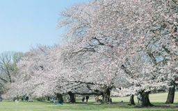 Japanse Sakura-kersenbloesems in volledige bloei in park, Tokyo stock fotografie