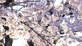 Japanse Sakura During Sunset stock footage
