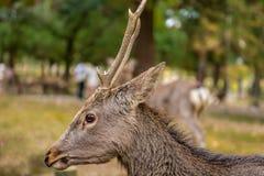 Japanse Sika-Herten Royalty-vrije Stock Fotografie