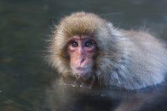 Japanse Sneeuwaap in de wildernis Stock Foto