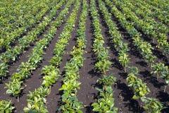 Japanse steranijsplant (Illicium Royalty-vrije Stock Afbeelding