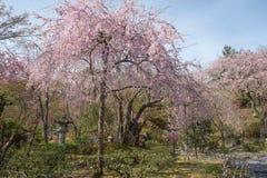 Japanse tuin in de lente met de boom van de kersenbloesem stock foto's