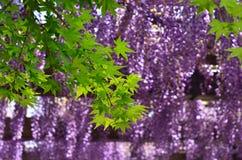 Japanse tuin in de stad van Kyoto, wisteria   Stock Fotografie