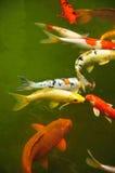 Japanse Vissen Koi Stock Foto