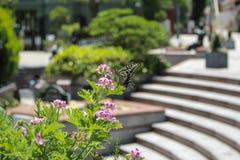 Japanse Vlinder Zuigende Nectar Royalty-vrije Stock Afbeelding