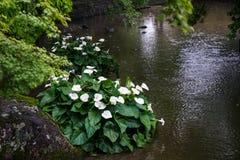 Japanse weelderige groene tuin met decoratieve steen en witte flowe Stock Foto