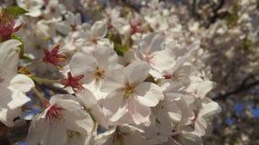 Japanse wiśnia Blossem Obrazy Royalty Free