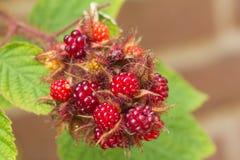 Japanse wineberry Royalty-vrije Stock Foto's