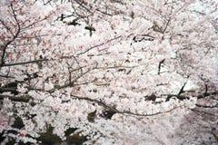 Japanse witte kersenbloesem in de lente Stock Foto