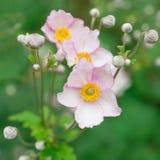 Japansk anemon i natur Arkivfoton
