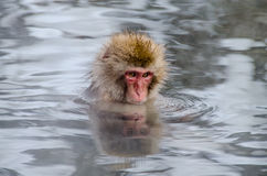 japansk apa Fotografering för Bildbyråer