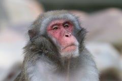 japansk apa arkivbild