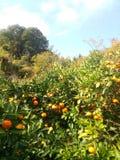 Japansk apelsin Arkivfoto