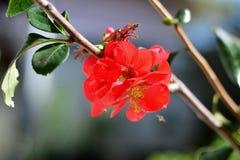 Japansk blomma Boke Fotografering för Bildbyråer