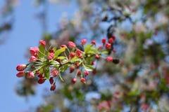 Japansk blomningcrabapple royaltyfri bild
