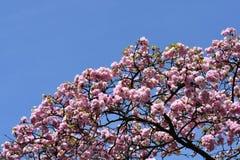 Japansk blomningkörsbär fotografering för bildbyråer