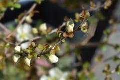 Japansk blomningkvitten arkivfoto