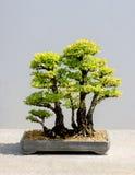 Japansk bonsaiträdCedar Elm rugge arkivbild