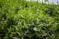 Japansk crosneväxtlövverk Royaltyfri Foto