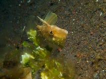 Japansk filefish 02 Arkivbild