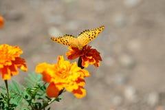 Japansk fjäril arkivfoton