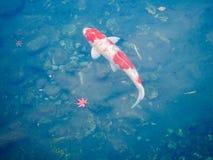 Japansk guldfisk Koi och Autumn Leafs fotografering för bildbyråer