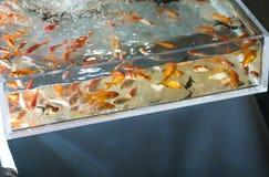 Japansk guldfiskfestivallek royaltyfria bilder