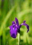 Japansk iris Arkivfoton