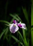 Japansk iris Royaltyfria Bilder