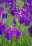 Japansk iris Royaltyfri Bild